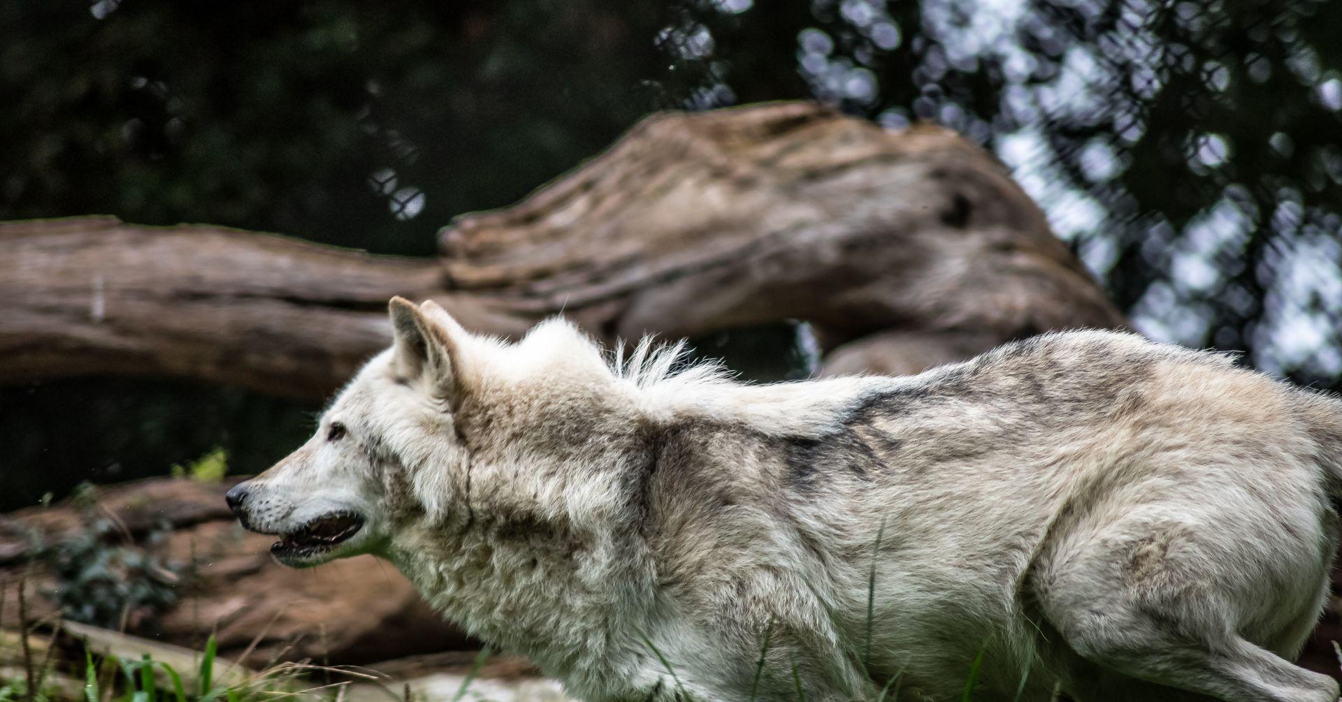 Umgang mit Wölfen in Niedersachsen neu regeln